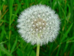 Not a Russian dandelion